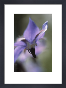 Borago officinalis, Borage by Grace Carlon