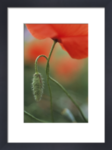Papaver rhoeas, Poppy by Grace Carlon