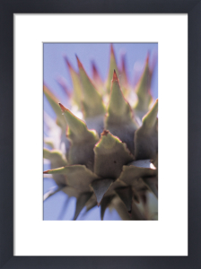 Cynara cardunculus, Cardoon by Grace Carlon