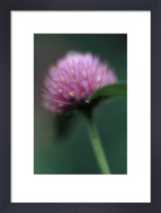 Trifolium pratense, Clover by Grace Carlon