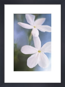 Jasminum officinale, Jasmine by Grace Carlon