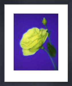Eustoma, Lisianthus by Gill Orsman