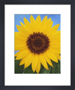 Helianthus annus, Sunflower by Gill Orsman
