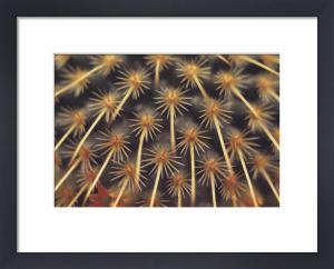 Aporocactus, Cactus by Gill Orsman