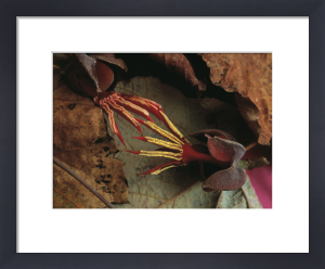 Proboscidea lousianica, Devil's Claw by Ines Roberts