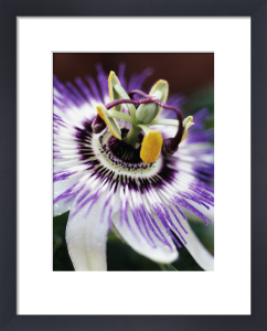 Passiflora caerulea, Passion flower by John Beedle