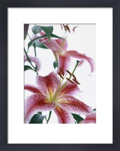 Lilium 'Star Gazer', Lily by John Beedle