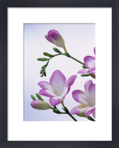 Freesia, Freesia by John Beedle