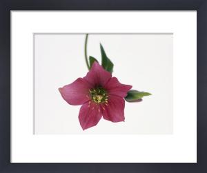 Helleborus hybridus, Hellebore by John Beedle