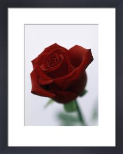 Rosa, Rose by John Beedle