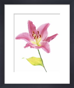 Lilium, Lily by John Beedle