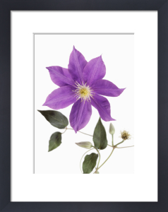 Clematis 'H.F.Young', Clematis by John Beedle