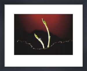 Lathyrus odoratus, Sweet pea by John Beedle