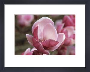 Magnolia soulangeana 'Triumphans', Magnolia by Jonathan Buckley