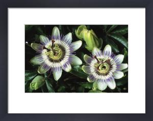 Passiflora caerulea, Passion flower by Jonathan Buckley
