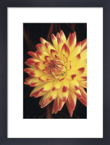 Dahlia 'Bridgeview Aloha', Dahlia by Jonathan Buckley