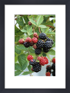 Rubus laciniatus 'Loch Ness', Blackberry by Jonathan Buckley