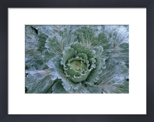 Brassica oleracea subauda, Cabbage - Savoy cabbage by Jonathan Buckley