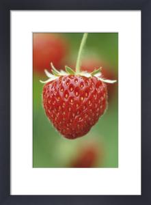 Fragaria x ananassa 'Pandora', Strawberry by Jonathan Buckley