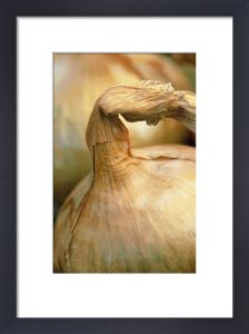 Allium cepa, Onion by Jonathan Buckley