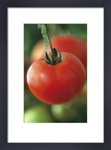 Lycopersicon esculentum 'Oregon Spring', Tomato by Jonathan Buckley