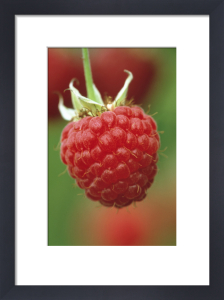 Rubus idaeus, Raspberry by Jonathan Buckley