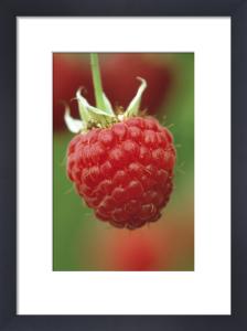 Rubus idaeus, Raspberry by Jonathan Buckley