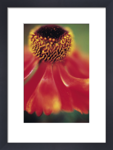Helenium 'Moerheim Beauty', Helen's flower, Sneezeweed by Jo Hansford