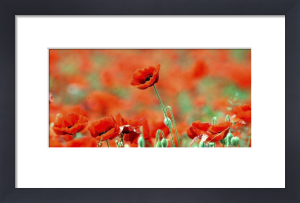 Poppies by Mirrorpix