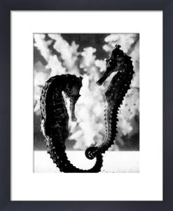 Pair of seahorses by Mirrorpix