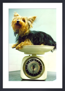 Yorkshire Terrier being weighed by Mirrorpix