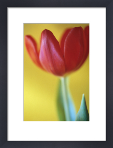 Tulipa, Tulip by Mike Bentley