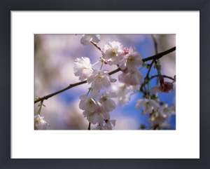 Prunus 'Amanogawa', Cherry by Mike Bentley