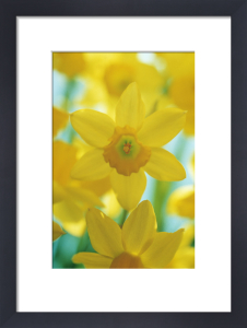 Narcissus, Daffodil by Mike Bentley