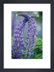 Lupinus, Lupin by Mike Bentley