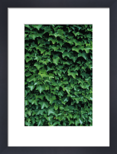 Hedera, Ivy by Mike Bentley