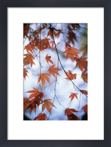 Acer palmatum, Japanese maple by Mike Bentley