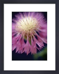 Centaurea pulcherrima, Knapweed by Martin O'Neill