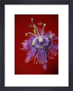 Passiflora caeruleoracemosa, Passion flower by Martin O'Neill