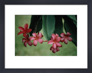 West Indian Jasmine by Martin O'Neill