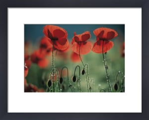 Papaver rhoeas, Poppy by Michael Peuckert
