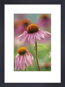 Echinacea purpurea, Purple coneflower by Michael Peuckert