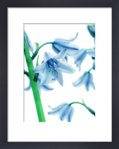 Hyacinthoides hispanica, Bluebell - Spanish bluebell by Nic Miller