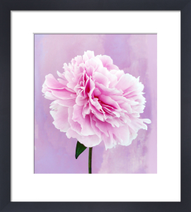Paeonia lactiflora, Peony by Nic Miller