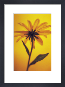 Rudbeckia hirta 'Indian Summer', Coneflower black-eyed Susan by Paul Debois