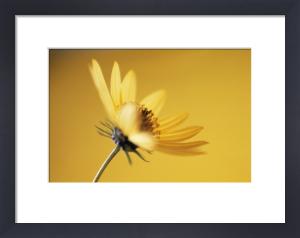 Helianthus 'Lemon Queen', Sunflower by Paul Debois