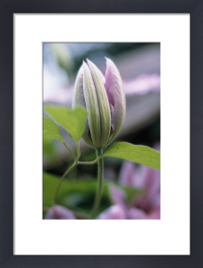 Clematis, Clematis by Richard Freestone