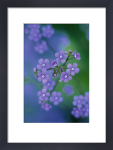 Myosotis, Forget-me-not by Rob Matheson