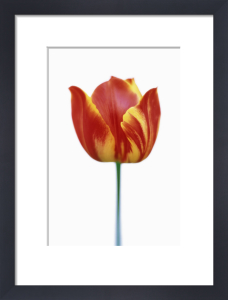 Tulipa, Tulip by Rob Matheson