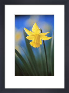 Narcissus, Daffodil by Rob Matheson